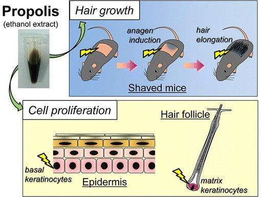 Os experimentos foram feitos em animais normais, sem calvície. [Imagem: Shota Miyata et al. - 10.1021/jf503184s]
