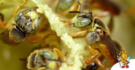 saiba-tudo-sobre-a-abelha-jatai